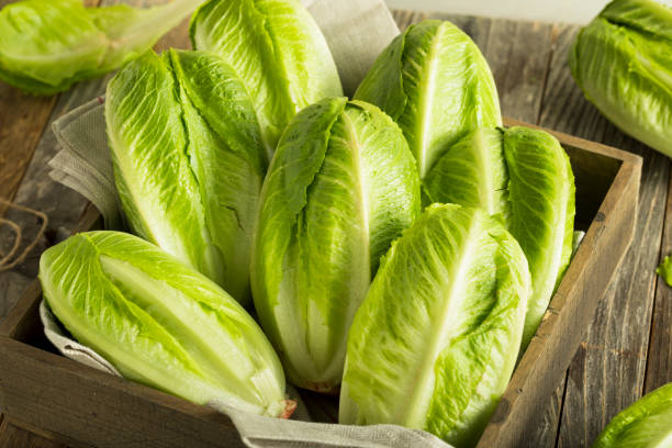 Raw Green Organic Romaine Lettuce Raw Green Organic Romaine Lettuce Ready to Eat romaine lettuce stock pictures, royalty-free photos & images