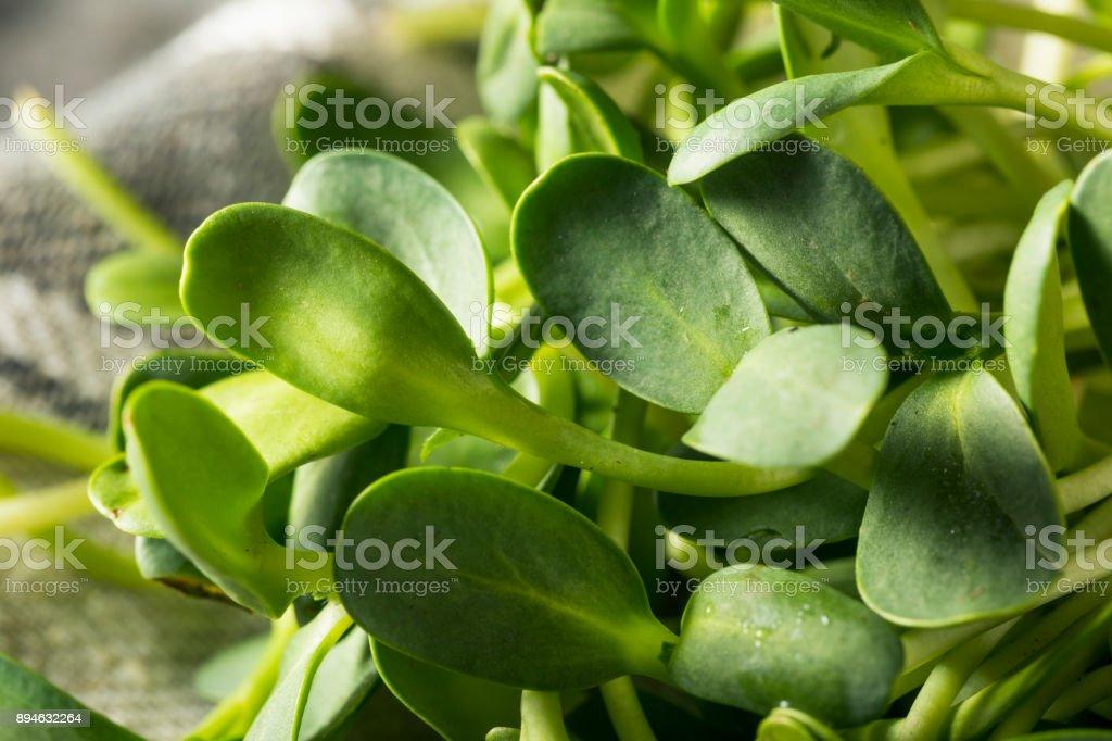 Raw Green Organic Sunflower Microgreens stock photo