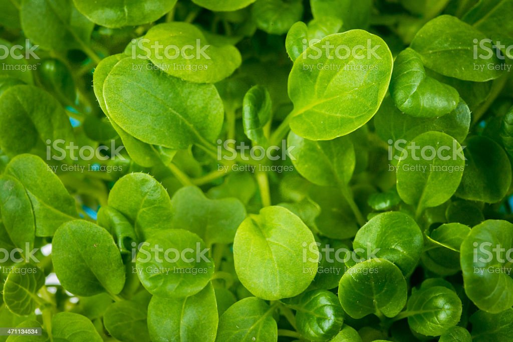 Raw Microgreen Tatsoi Plant Stock Photo Download Image Now