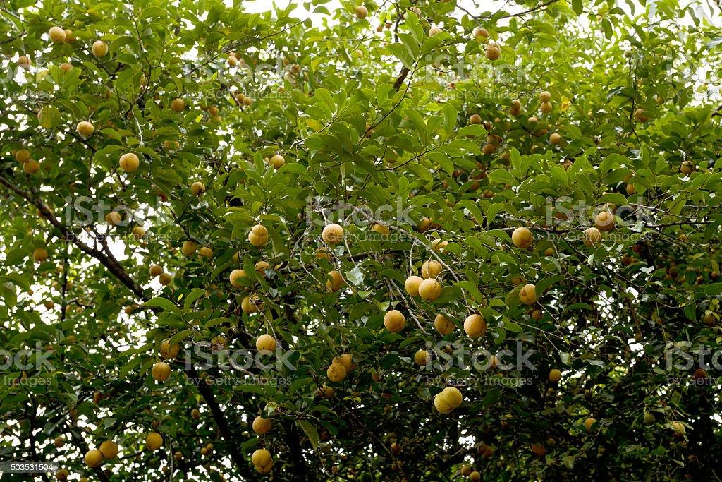 raw Nutmeg hanging on nutmeg tree, North Sulawesi stock photo