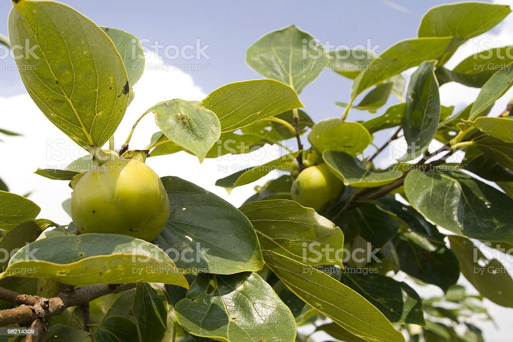 raw persimmon royalty-free stock photo