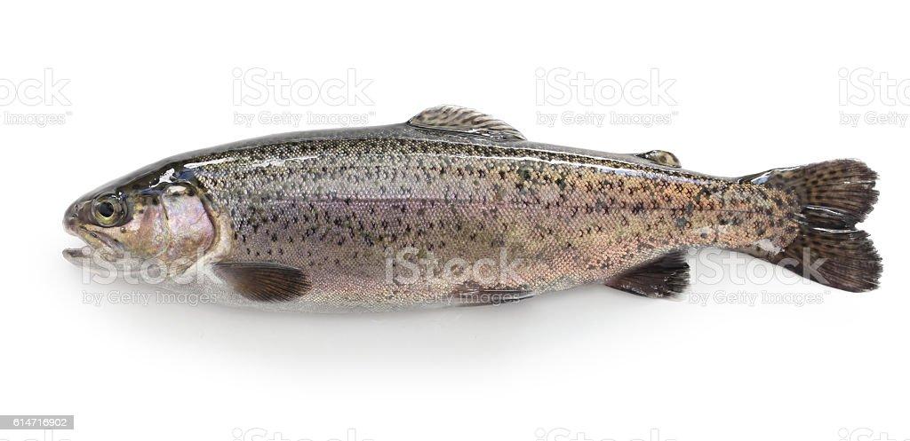 raw rainbow trout stock photo
