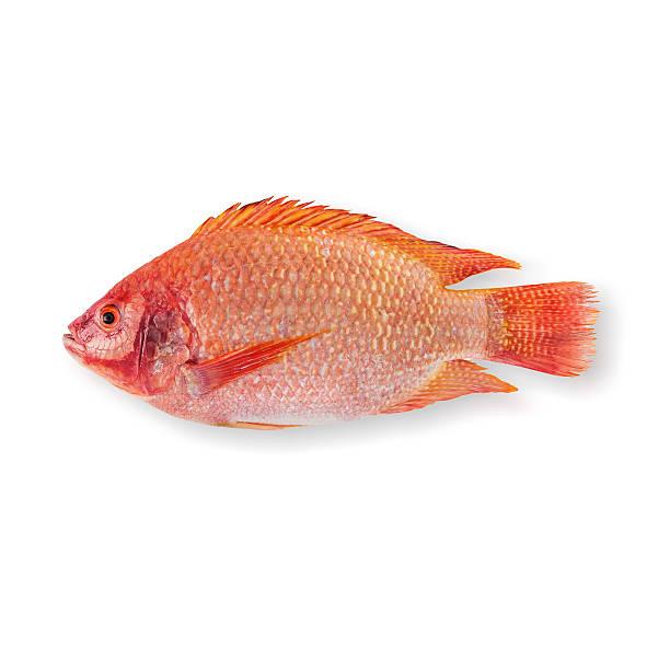 Raw Red tilapia stock photo