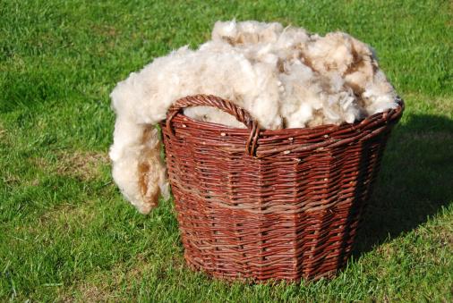 Basketful of raw sheep wool, unwashed and natural