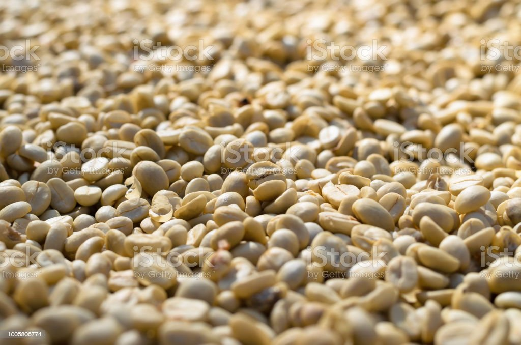Unroasted Coffee Beans >> Raw Unroasted Coffee Beans Drying In Sunlight Stock Photo