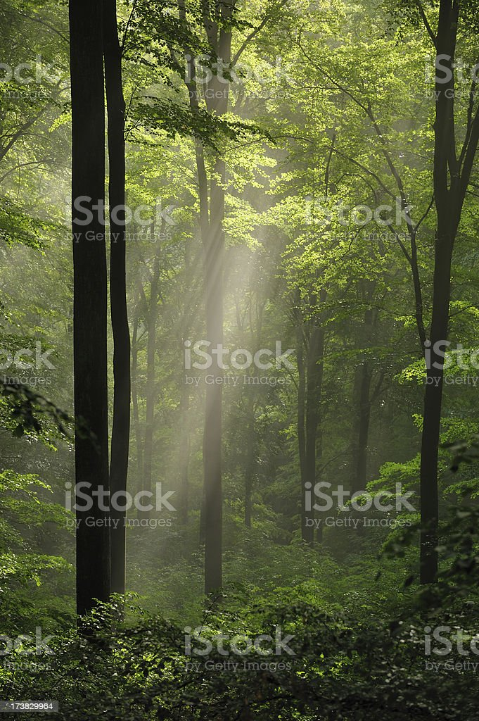ray of light in the forest stock photo