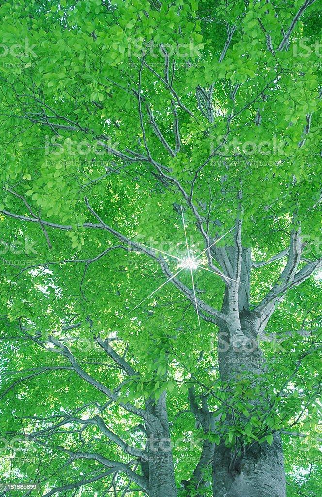 Ray Through Beech Trees royalty-free stock photo