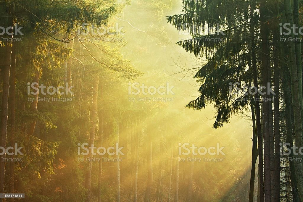 Rays in forest royalty-free stock photo