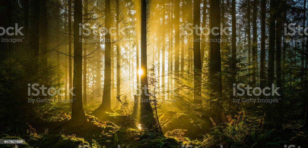 Rays of golden sunshine streaming through idyllic forest glade panorama stock photo