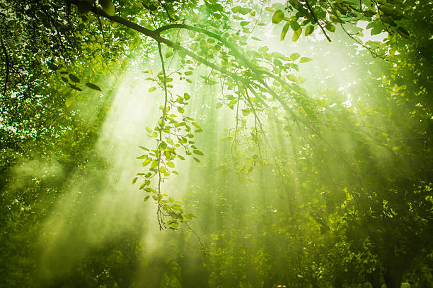 Rays of sunlight and Green Forest Rays of sunlight and Green Forest taoism stock pictures, royalty-free photos & images