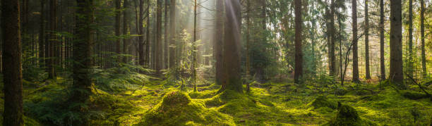 Rays of sunlight beaming through idyllic mossy forest clearing panorama stock photo