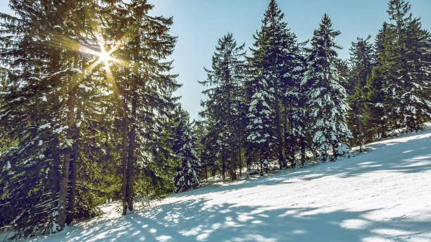 Rays of sunlight goes through fir trees. – Foto
