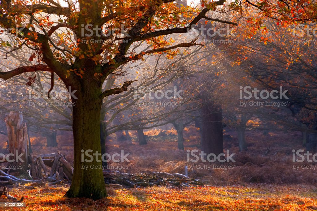 Rays of sunlight pouring through woods in Richmond Park, London stock photo