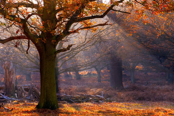 rays of sunlight pouring through woods in richmond park, london - richmond park stock photos and pictures