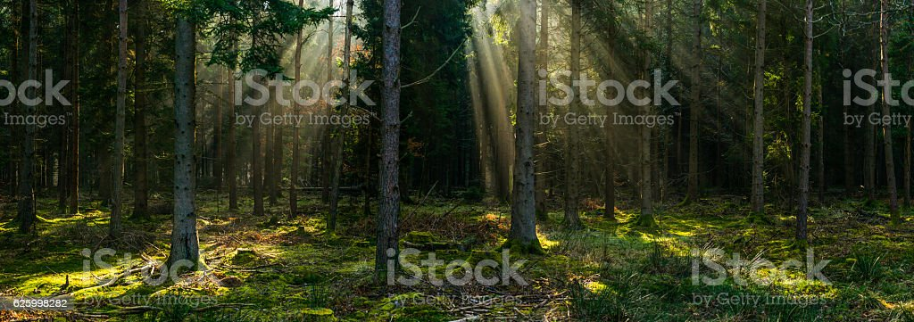 Rays of sunlight shining through the forest canopy woodland panorama stock photo