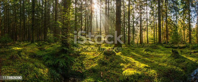 istock Rays of sunlight streaming through mossy forest clearing woodland panorama 1173805090