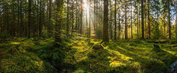 Rays of sunlight streaming through mossy forest clearing woodland panorama Golden beams of early morning sunlight streaming through the pine needles of a green forest to illuminate the soft mossy undergrowth in this idyllic woodland glade. forest stock pictures, royalty-free photos & images