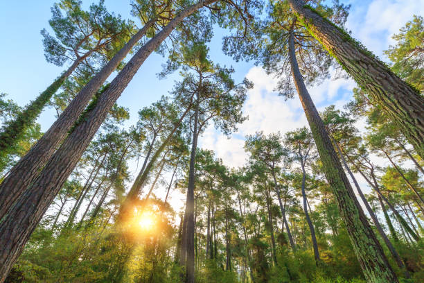 Rays of the sun make their way through the trunks of tall pine trees in the forest stock photo