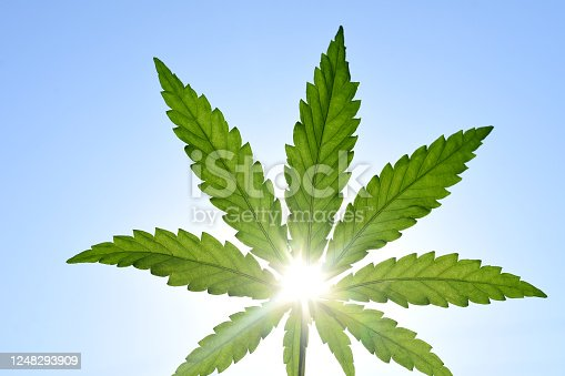Rays of the sun through a green leaf of hemp against the sky. High quality photo