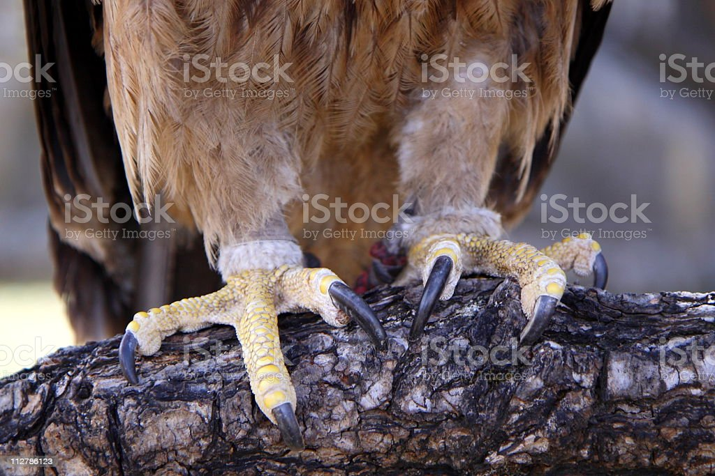 Razor sharp claws of an eagle (series) royalty-free stock photo
