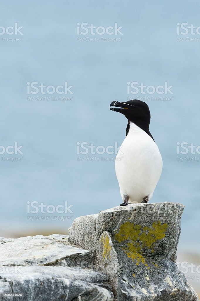 Razorbill, Alca Torda royalty-free stock photo
