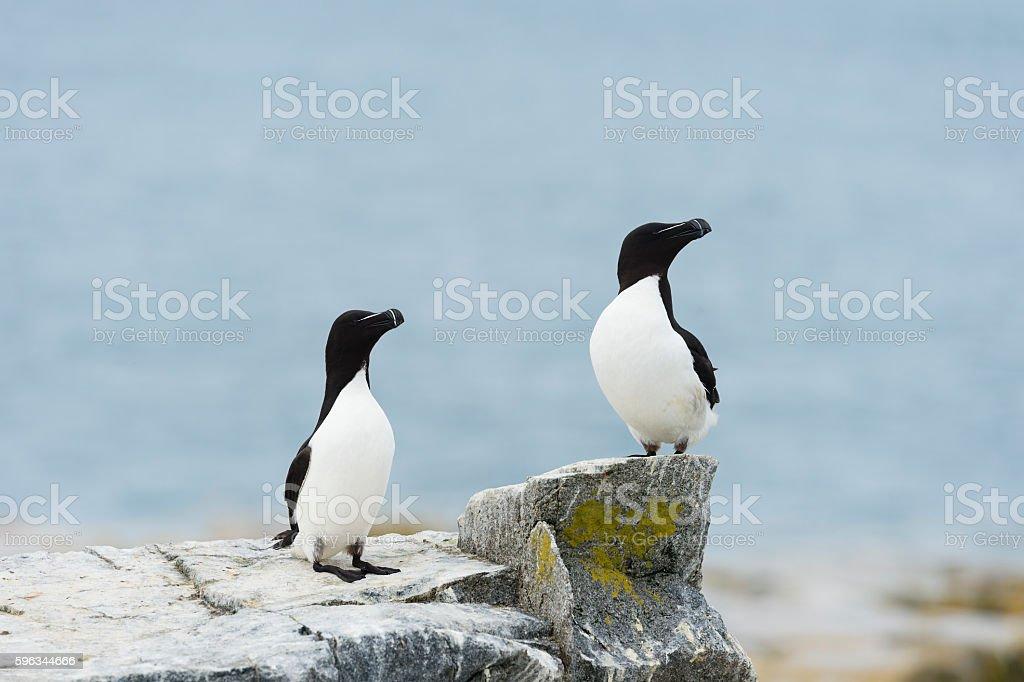 Razorbill, Alca Torda, two birds, couple royalty-free stock photo