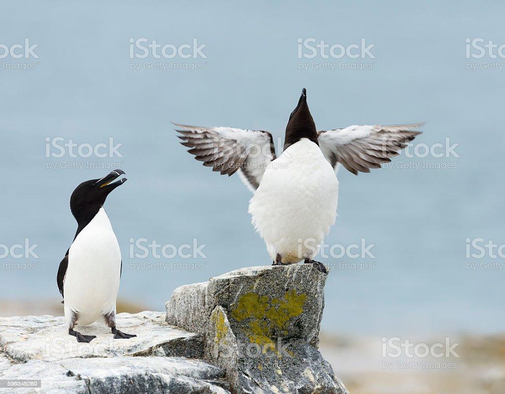 Razorbill, Alca Torda, two birds, couple,spreading wings. Lizenzfreies stock-foto