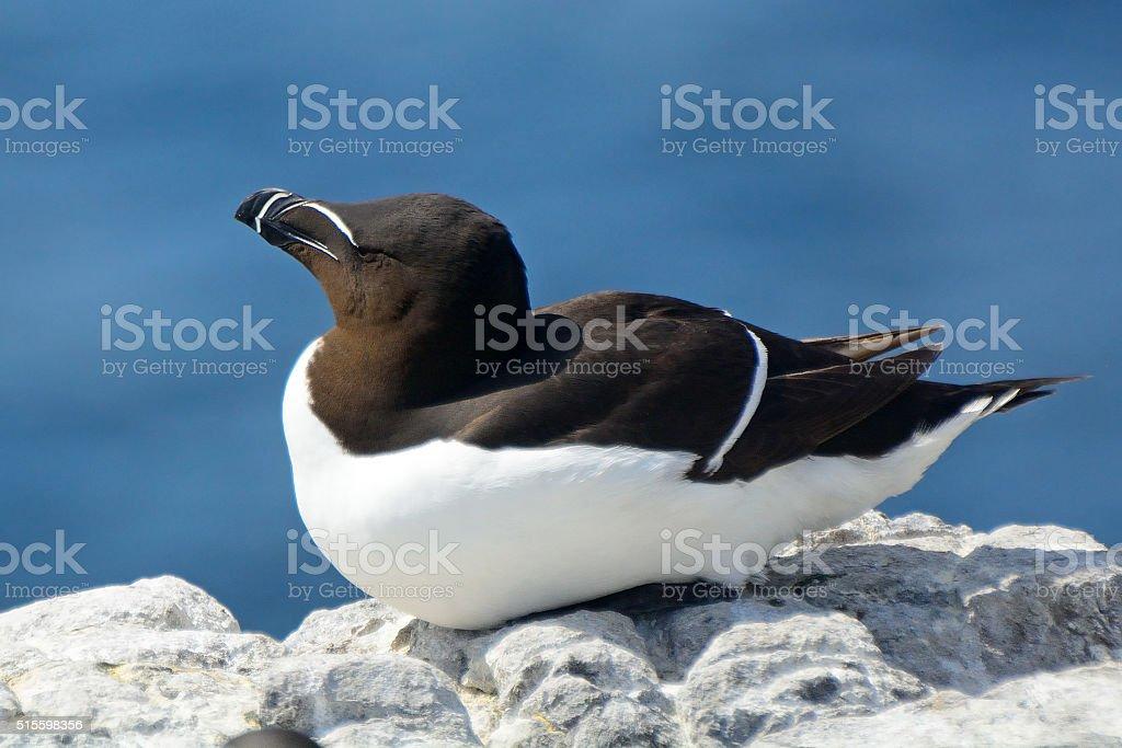 Razorbill, Farne Islands Nature Reserve, England stock photo