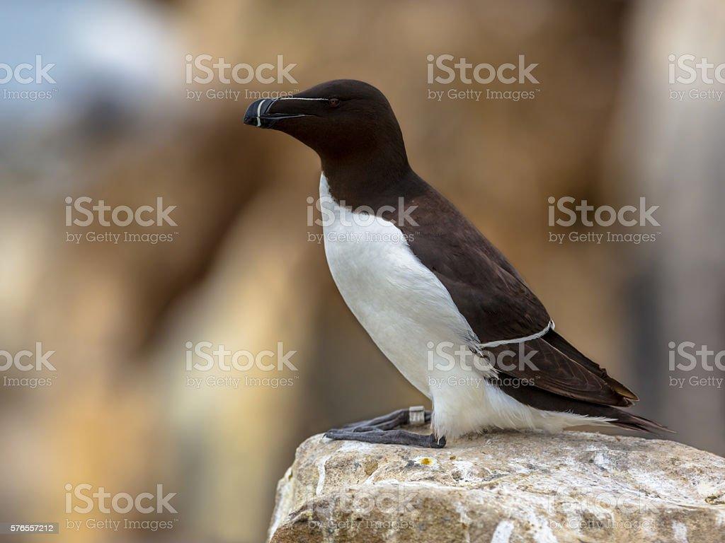 Razorbill perched on rock stock photo
