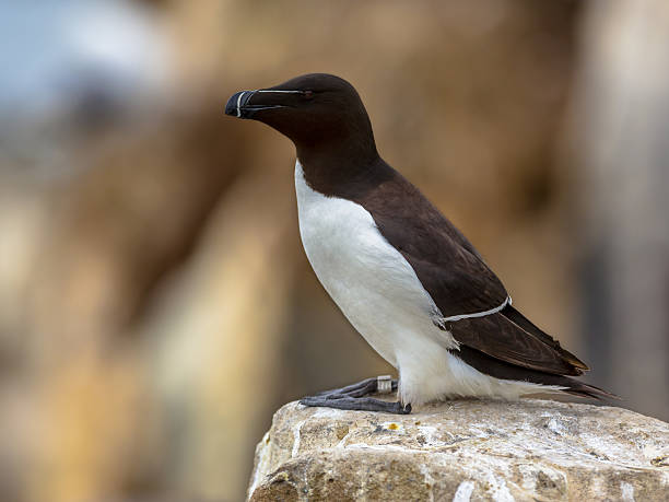 Razorbill perched on rock Razorbill (Alca torda) perched on rock in breeding colony on Farne Islands, United Kingdom auk stock pictures, royalty-free photos & images