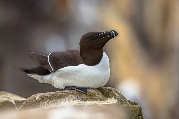 Razorbill sitting on rock Razorbill (Alca torda) sitting on rock in breeding colony on Farne Islands, United Kingdom auk stock pictures, royalty-free photos & images