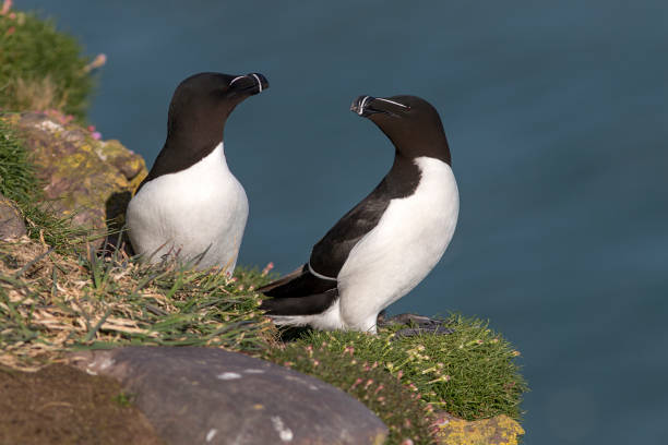Razorbills (Alca torda), Scotland A pair of Razorbills (Alaca torda) on the cliff top at Fowlsheugh, a bird reserve in Scotland. auk stock pictures, royalty-free photos & images