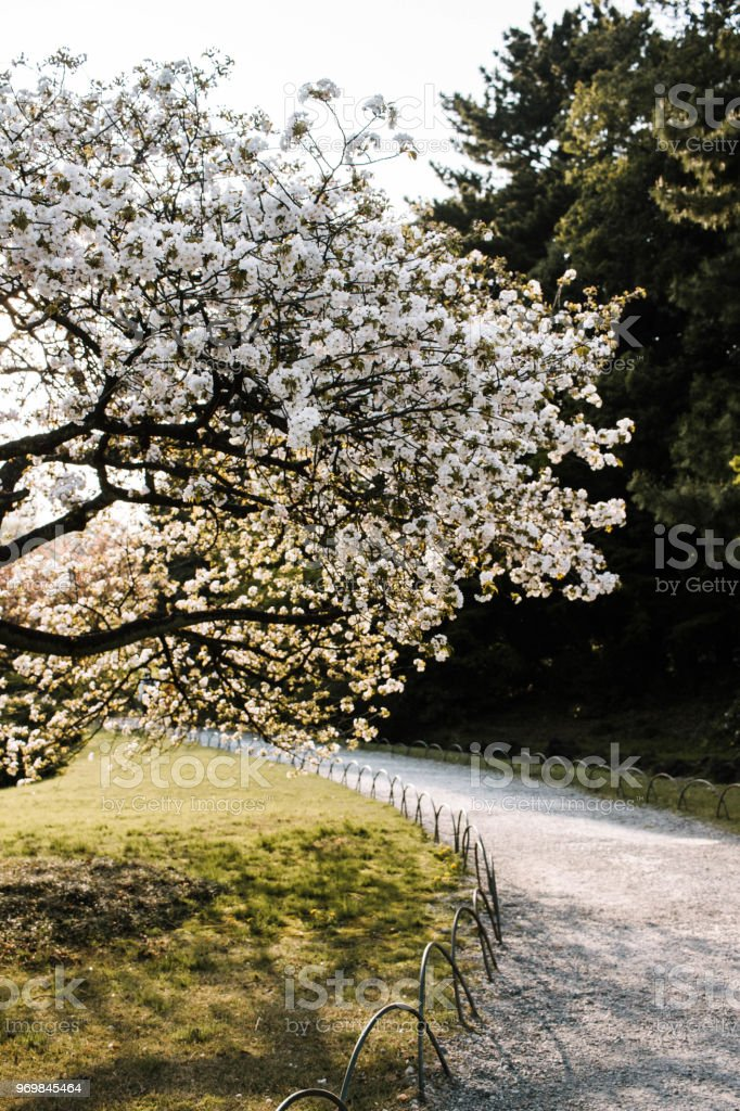 Árbol de Cerezo - foto de stock