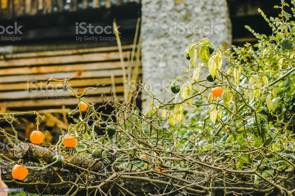 Árbol de Chile - foto de stock
