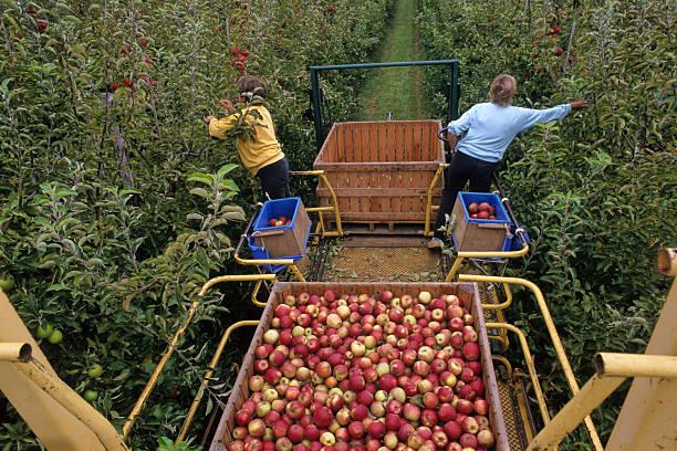 récolte de pommes stock photo