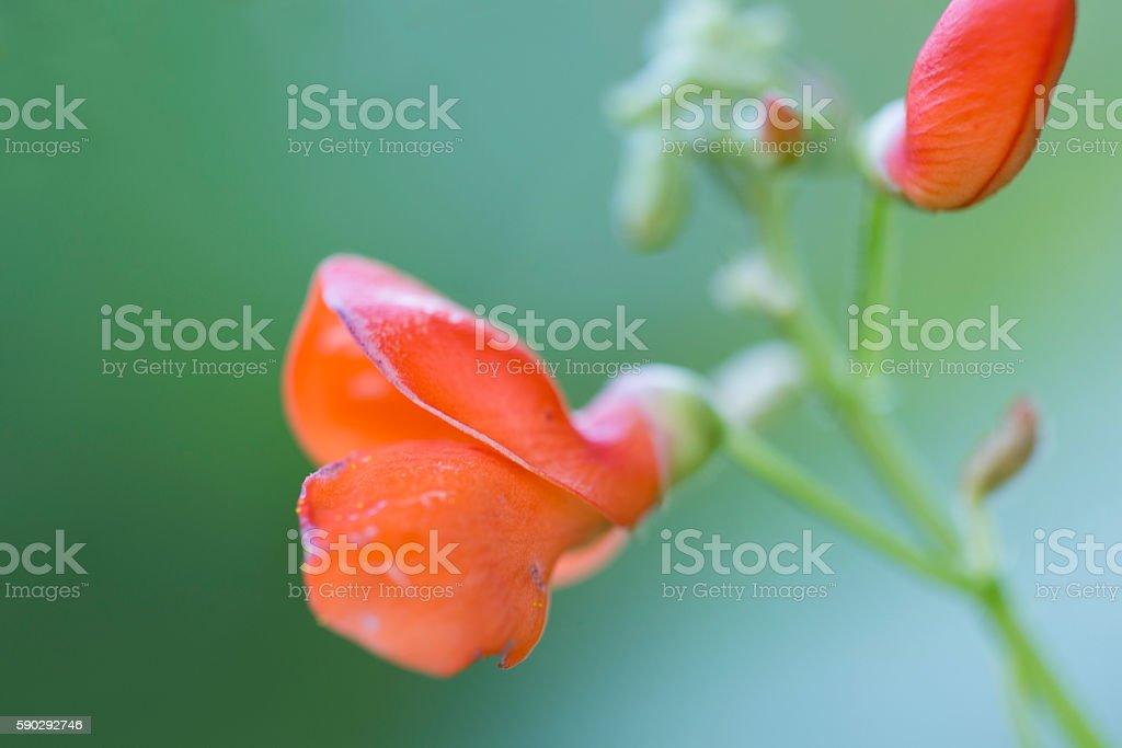 Read bean flowers royaltyfri bildbanksbilder