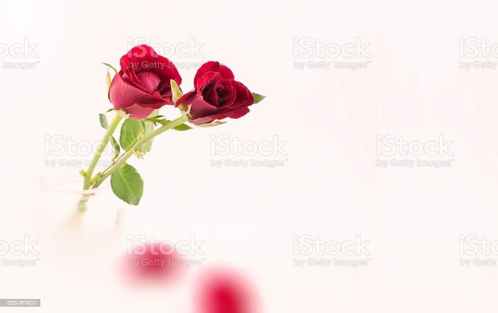 Read roses stock photo