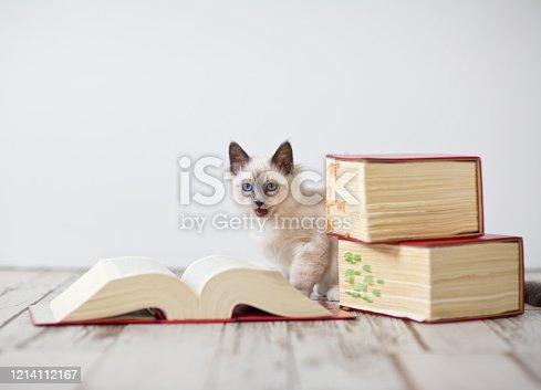 Birma Katze sitzt zwischen Lehrbüchern