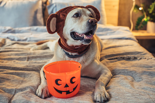 Dog in costumes on bed celebrating halloween