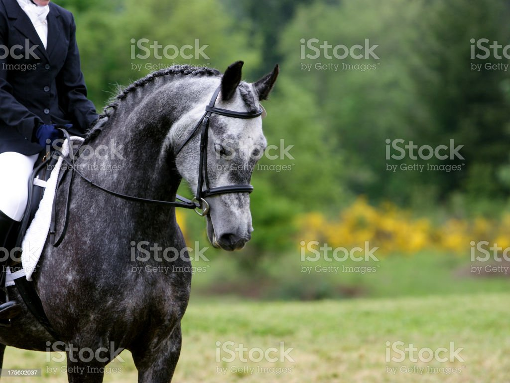 Ready for Dressage stock photo
