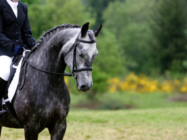 ready for dressage - horse bit stock pictures, royalty-free photos & images