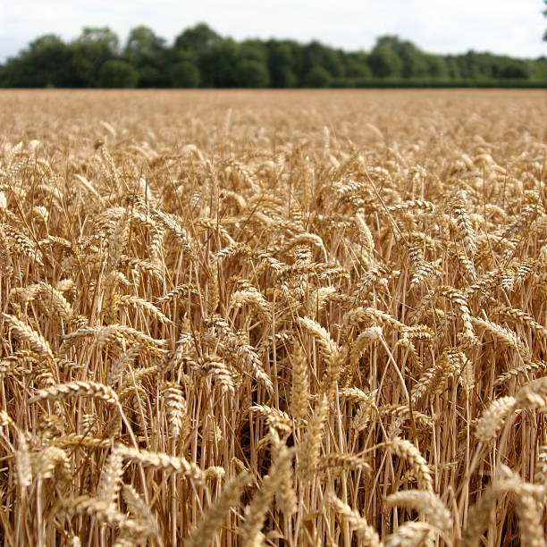 Ready for Harvest (Square) Close up of corn field ready for harvest. skeable stock pictures, royalty-free photos & images
