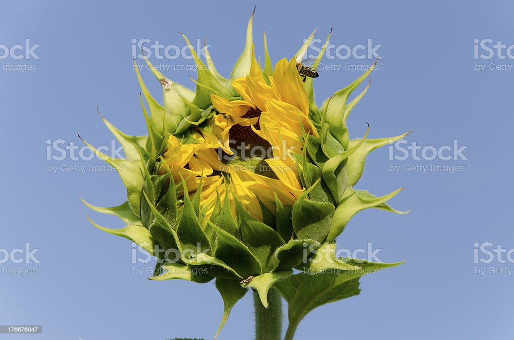 Ready to bloom royalty-free stock photo