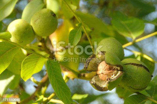Ripe walnut ready to fall. See more organic fruit & Veg: