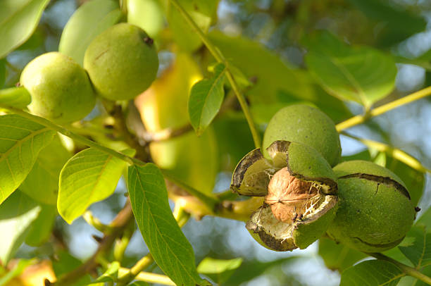 Ready to fall. Ripe walnut ready to fall. See more organic fruit & Veg: walnut stock pictures, royalty-free photos & images