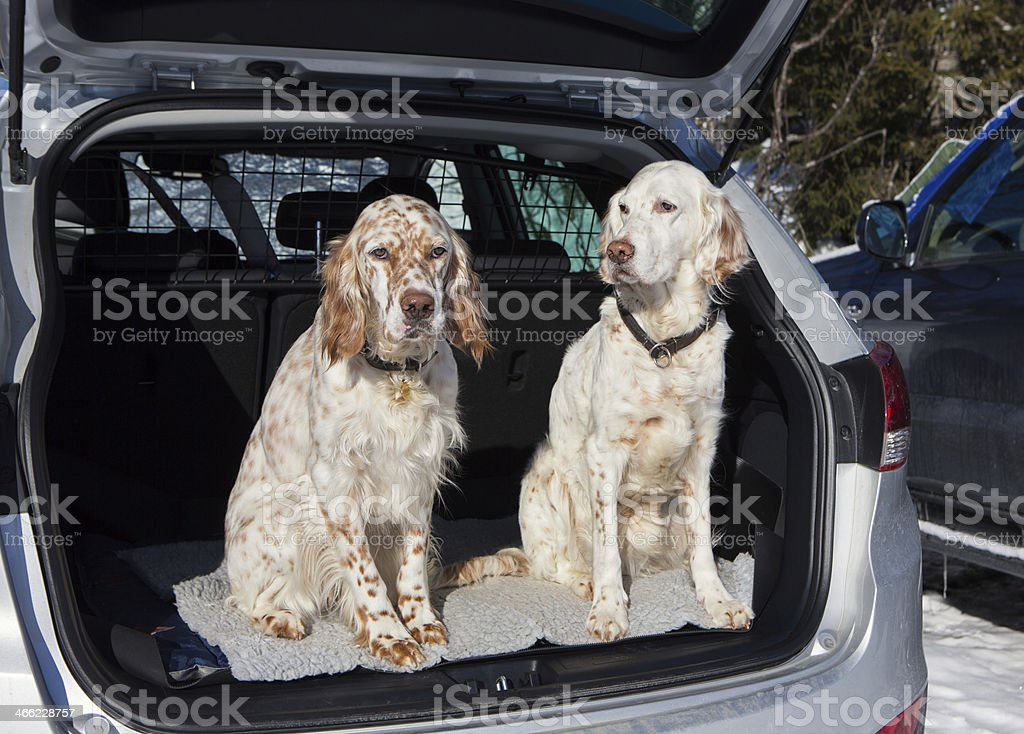 Ready To Go ! Two dogs in a car English Setters royalty-free stock photo