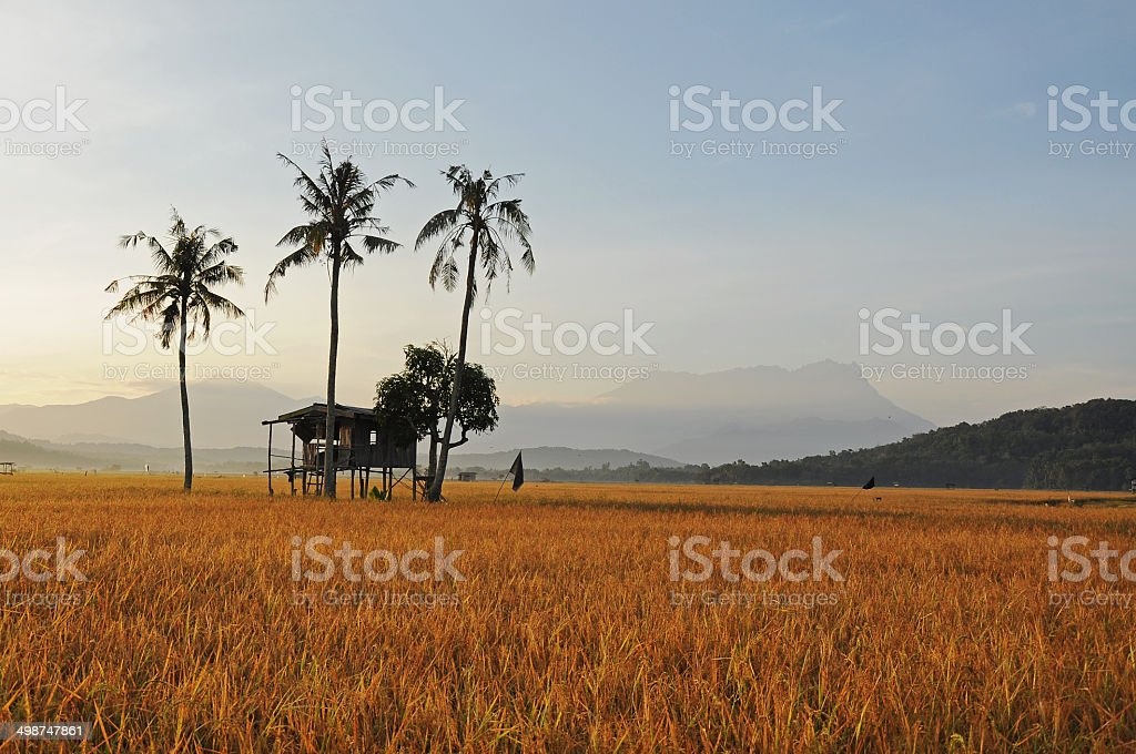Ready to harvest stock photo