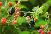 A macro image of a a patch of ripe wild blackberries.