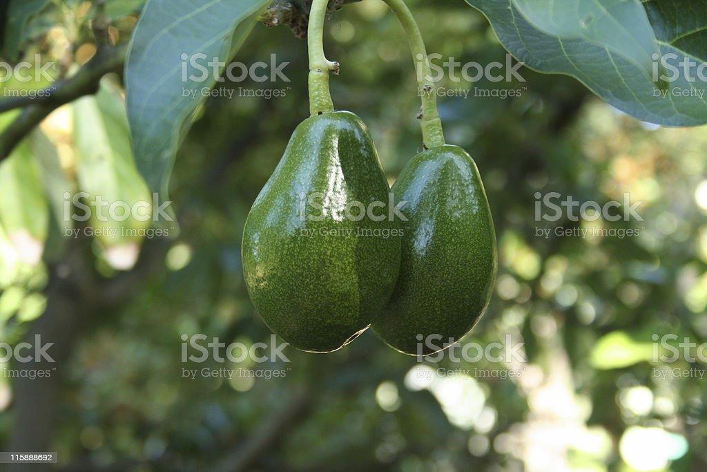 Ready to pick - two ripe avocados on a tree stock photo