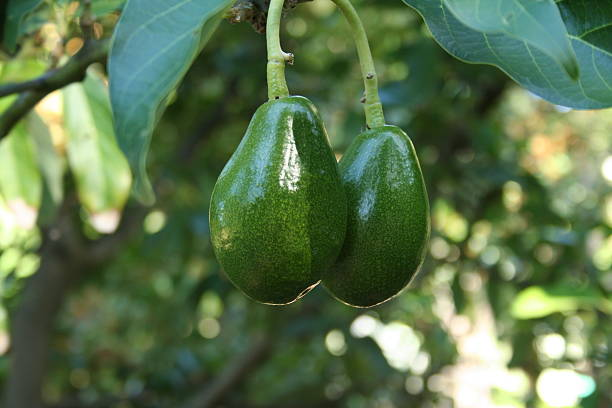 Ready to pick - two ripe avocados on a tree stock photo